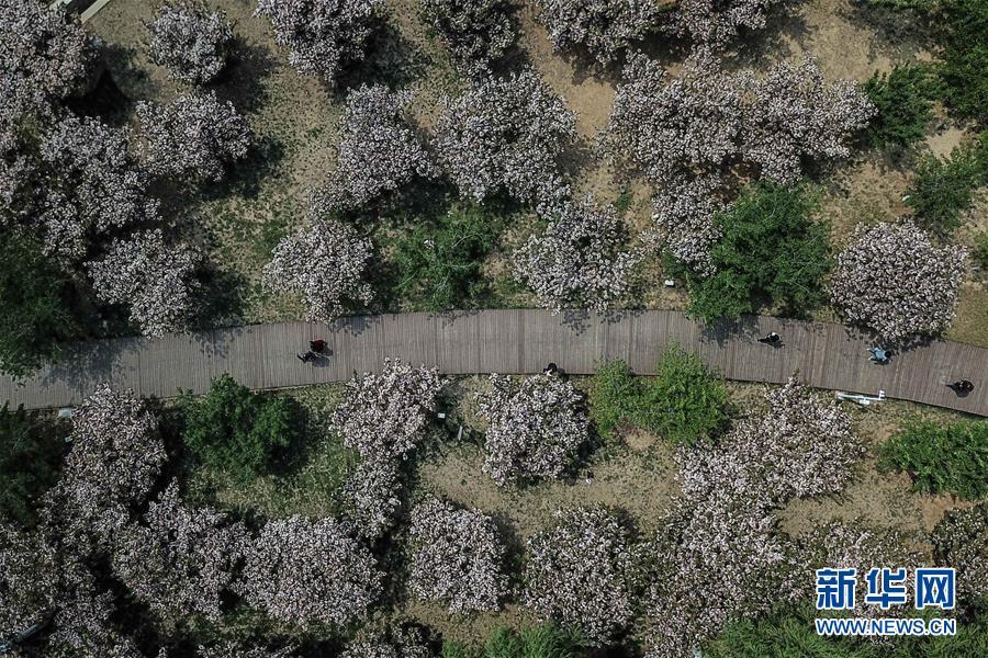 游客在大连市旅顺口区二零三樱花园内游玩(5月10日无人机拍摄)。 新华社记者 潘昱龙 摄