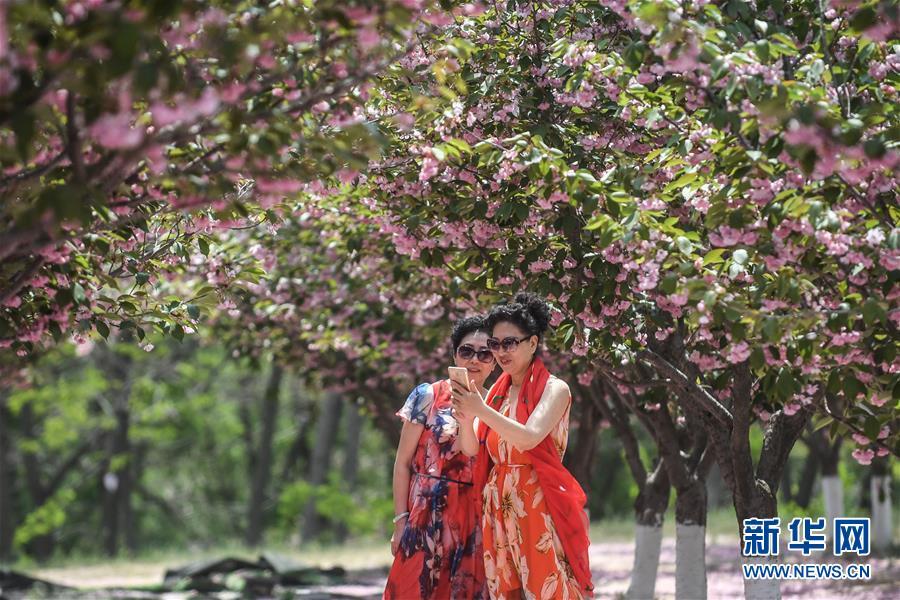 5月10日,游客在大连市旅顺口区二零三樱花园内拍照。旅顺口区二零三樱花园内的樱花正值花期,盛开的樱花吸引了众多游客前往赏花游玩。新华社记者 潘昱龙 摄