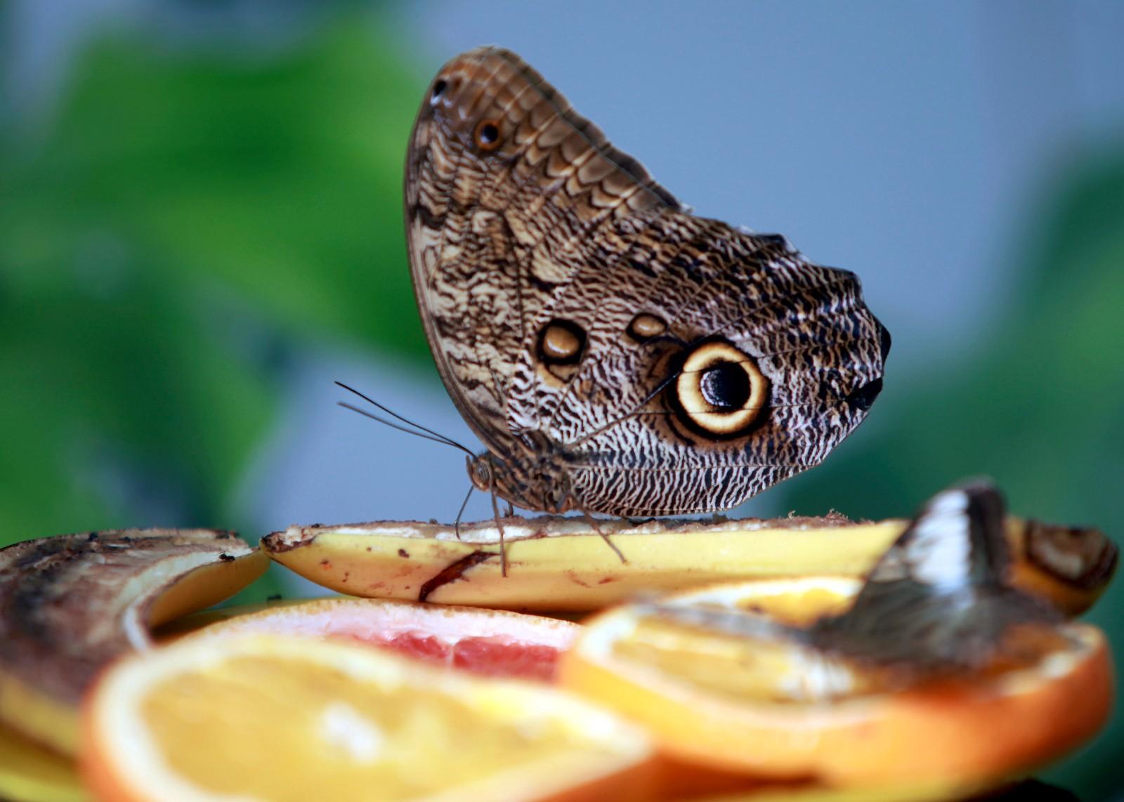 这是5月13日在拉脱维亚的特尔维特蝴蝶园拍摄的一只黄裳猫头鹰环蝶。  特尔维特的蝴蝶园养殖有来自亚洲、南美洲和非洲的各种珍稀蝴蝶。  新华社/欧新