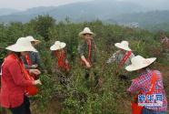 三明尤溪:采油茶 庆丰收