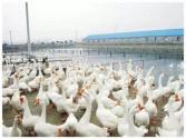安徽省肥西县打工仔回乡养鹅闯出新天地