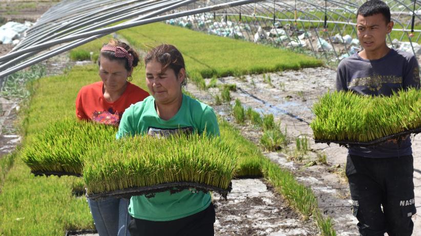 塔克拉瑪干沙漠邊緣種下海水稻