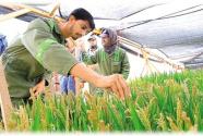 """""""一带一路""""上的中国农业新名片 海水稻 植根青岛 香飘海外"""
