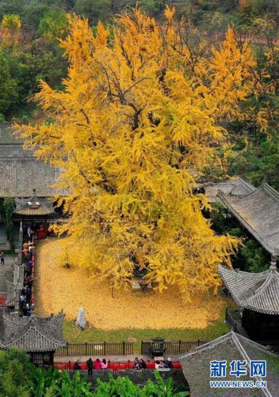 (美丽中国)(1)千年银杏立古刹 叶随风雨满地金