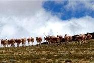 藏羚羊开启一年一度大规模迁徙