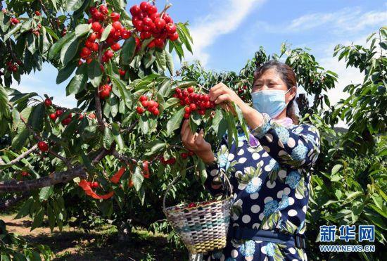 (经济)(2)北京:迎来樱桃采摘季