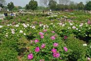 山東菏澤:盛開一朵花 豐富一座城